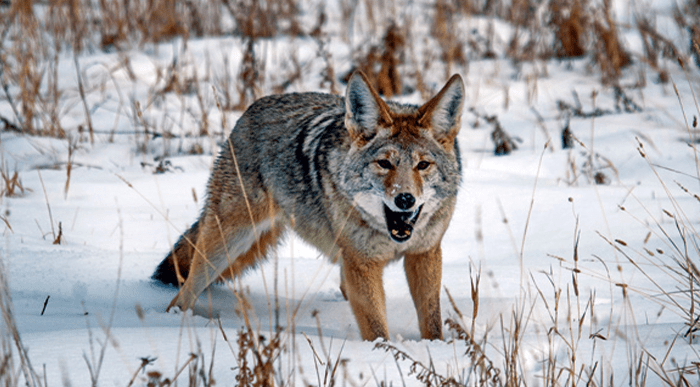 When to Hunt Coyotes