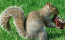 Can Squirrels Eat Chocolate