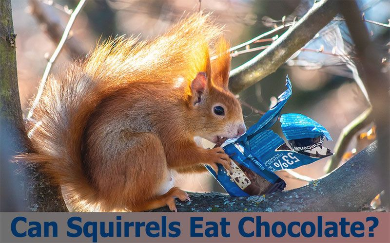 Can Squirrels Eat Chocolate?