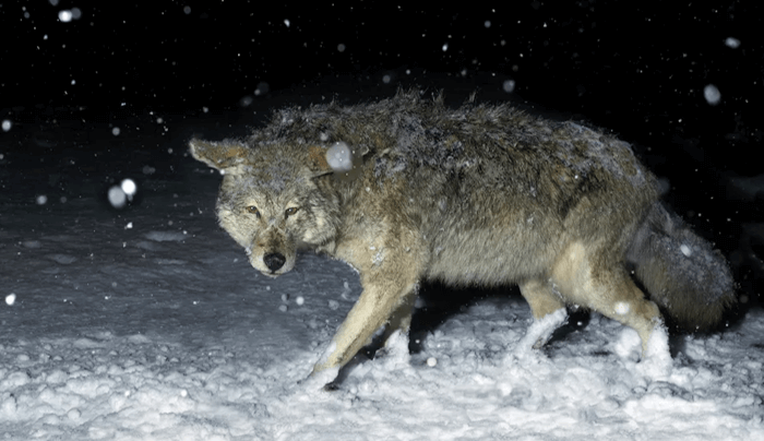 How to Hunt Coyotes at Night Without a Light