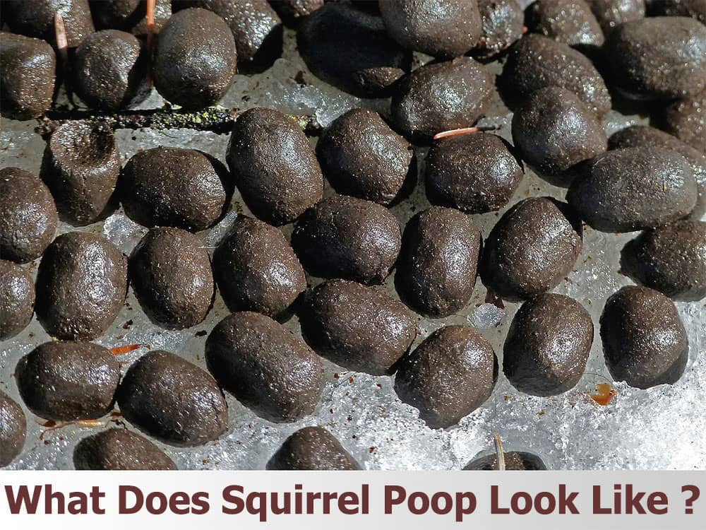 Squirrel Poop