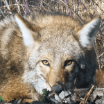 Where Do Coyotes Hide During the Day?