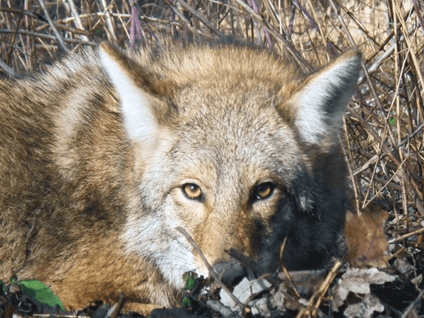 Where Do Coyotes Hide During the Day