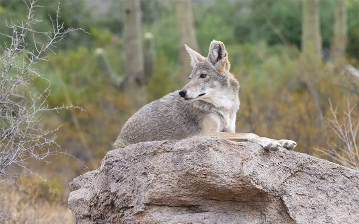 Do Coyotes Attack Humans?