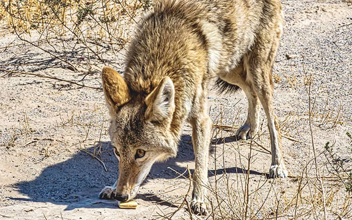 What Do Coyotes Eat