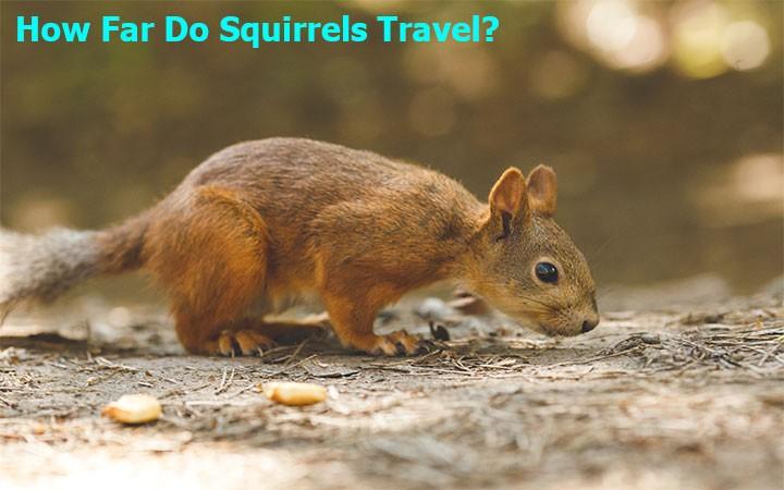How Far Do Squirrels Travel