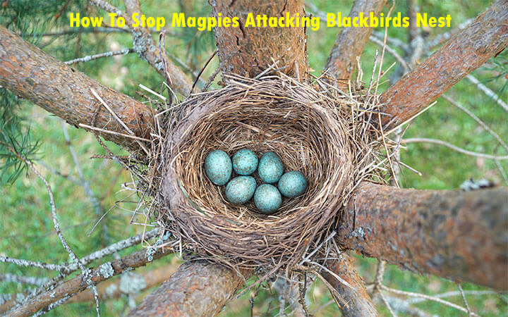 How To Stop Magpies Attacking Blackbirds Nest