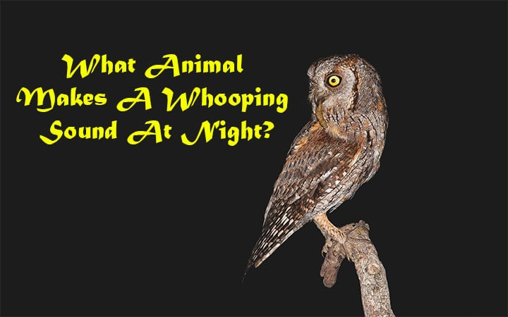 What Animal Makes A Whooping Sound At Night?
